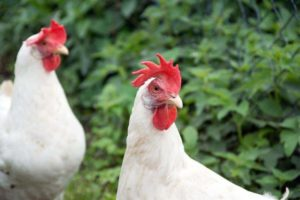 5 Of The Best Egg-Laying Chicken Breeds – iHeartAnimals com